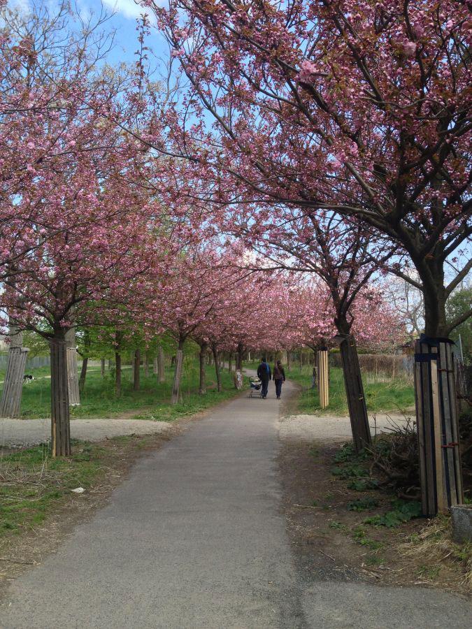 Radtour Berliner Mauerweg - Kirschblüte